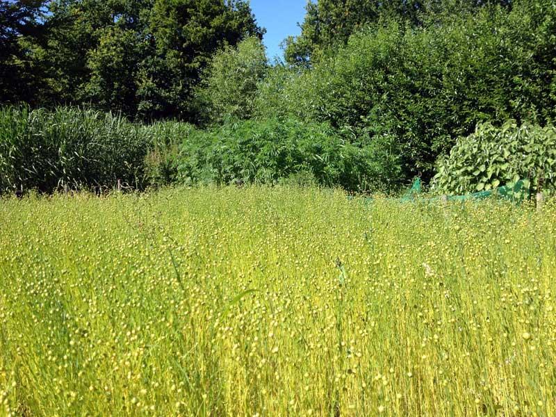 Flachs und Hanf – die klassischen Bastfaserpflanzen unserer Breiten