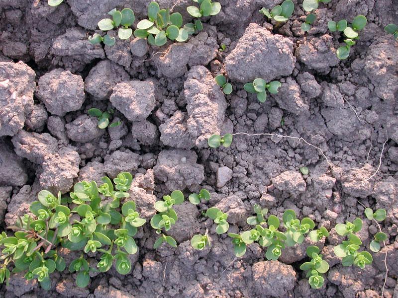 Ein klutiges Saatbett erlaubt keine einheitliche Ablagetiefe der Flachssamen und führt leicht zu Keimung und Auflauf in mehren Wellen.